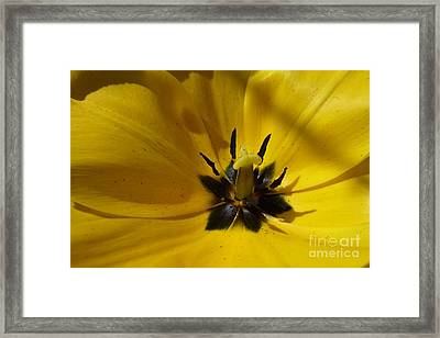 Yellow Tulip 1 Framed Print by Jean Bernard Roussilhe