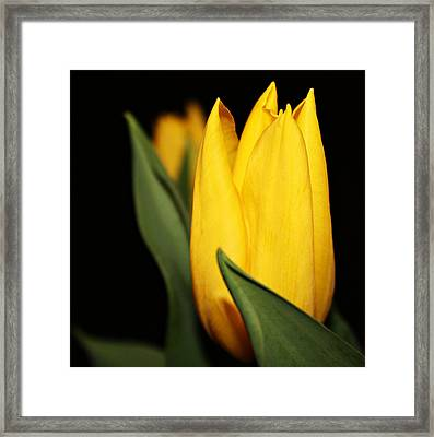 Yellow Tulip Framed Print by Cathie Tyler
