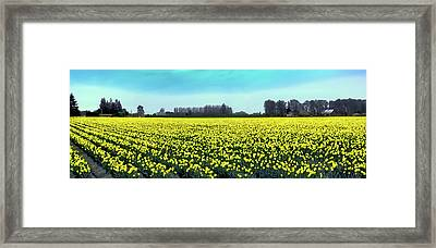 Yellow Tulip Fields Framed Print by David Patterson