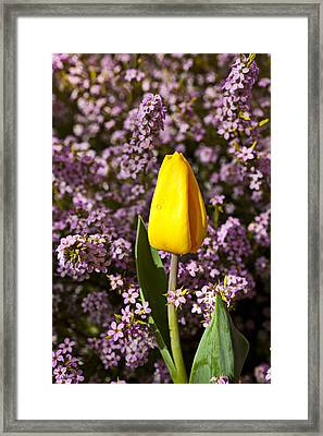 Yellow Tulip In The Garden Framed Print by Garry Gay