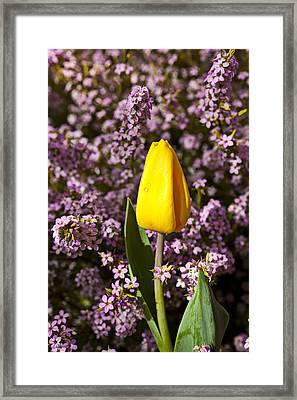 Yellow Tulip In The Garden Framed Print