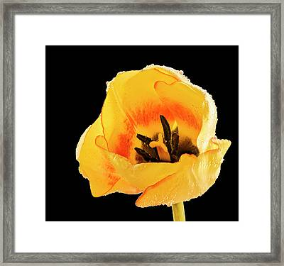 Yellow Tulip Framed Print by Jean Noren