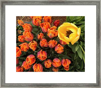 Yellow Tulip Supervisor Framed Print by Jean Noren