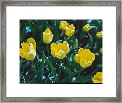 Framed Print featuring the photograph Yellow Tulips--film Image by Matthew Bamberg