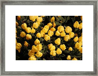 Yellow Tulips Framed Print by Jeff Porter