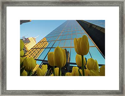 Yellow Tulips Looking Up At The Hancock Boston Ma Framed Print
