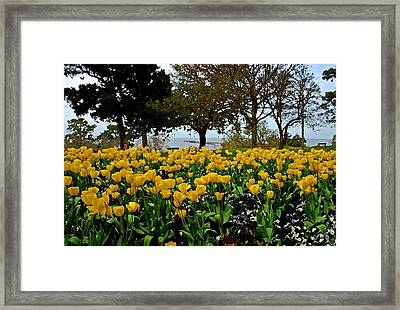 Yellow Tulips Of Fairhope Alabama Framed Print
