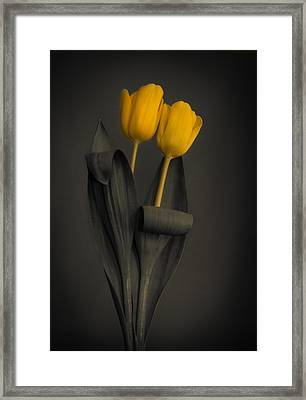 Yellow Tulips On A Grey Background Framed Print
