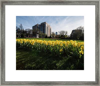 Yellow Tulips On The Boston Public Garden Boston Ma Framed Print by Toby McGuire