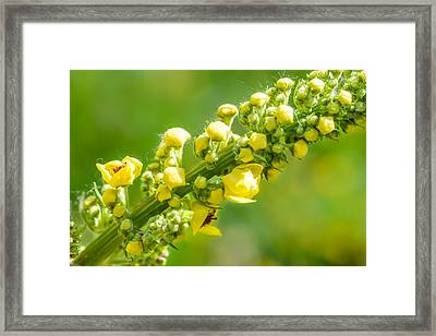 Yellow Verbascum Thapsus Framed Print