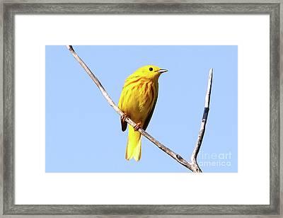 Yellow Warbler #1 Framed Print by Marle Nopardi