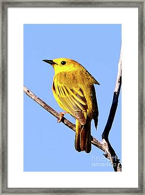 Yellow Warbler #2 Framed Print by Marle Nopardi
