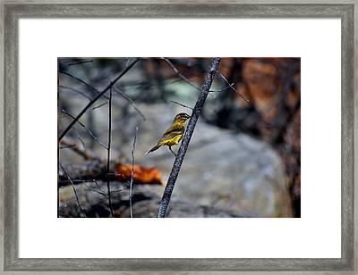 Yellow Warbler 2 Framed Print