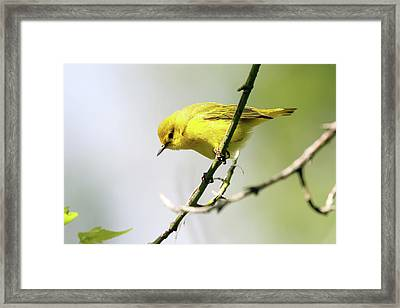 Yellow Warbler Framed Print by David Yunker