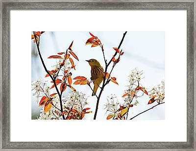 Yellow Warbler Framed Print by Debbie Oppermann
