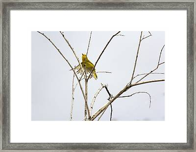 Yellow Warbler In Flight Framed Print by Dana Moyer