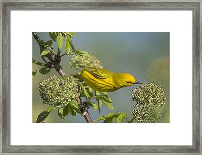 Yellow Warbler Looking For Dinner Framed Print by Birds Only