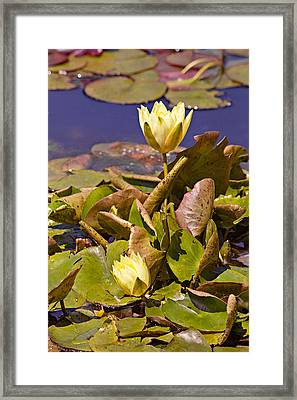 Yellow Water Hyacinth Framed Print