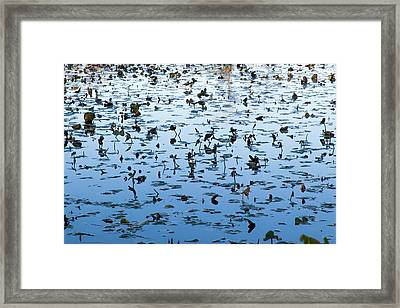 Yellow Water Lilies In Deep Silhouette Framed Print