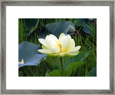 Yellow Water Lily Framed Print by Farol Tomson