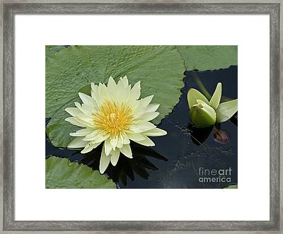 Yellow Water Lily With Bud Nymphaea Framed Print by Heiko Koehrer-Wagner