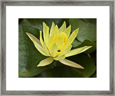 Yellow Waterlily With A Visiting Insect Framed Print