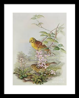 Northern Flicker Paintings Framed Prints