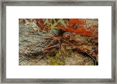 Yellowline Arrow Crab Framed Print by Jean Noren