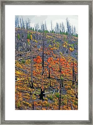 Yellowstone - Forest Burn 1 Framed Print by Steve Ohlsen