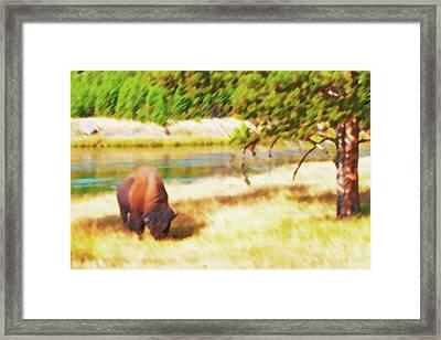 Yellowstone - Grazing Lone Buffalo Framed Print by Steve Ohlsen