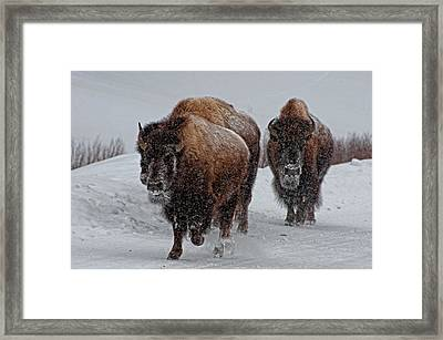 Yellowstone Bison Framed Print by DBushue Photography