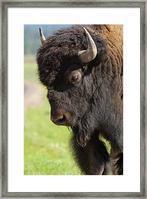 Yellowstone Bison Portrait Framed Print