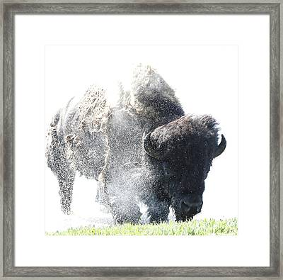 Yellowstone Bison Splashing Framed Print