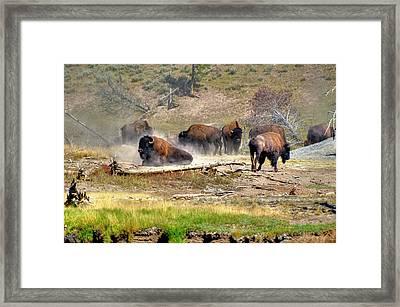Yellowstone Buffalo- Fine Art Photograph Framed Print by Greg Sigrist