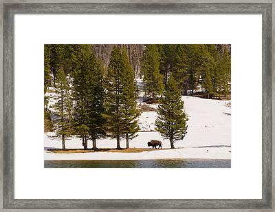 Yellowstone Buffalo Framed Print