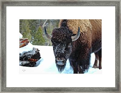 Yellowstone Buffalo Stare-down Framed Print