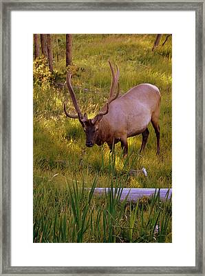 Yellowstone Bull Framed Print by Marty Koch