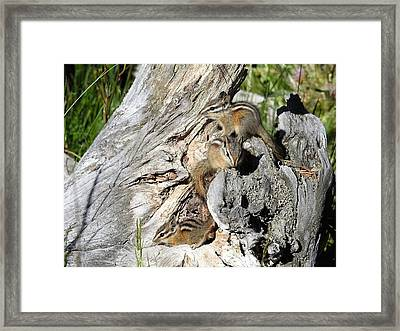 Yellowstone Chipmunks Framed Print by Nicole Belvill