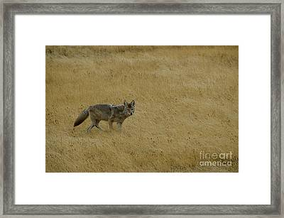 Framed Print featuring the photograph Yellowstone Coyote by Sue Smith
