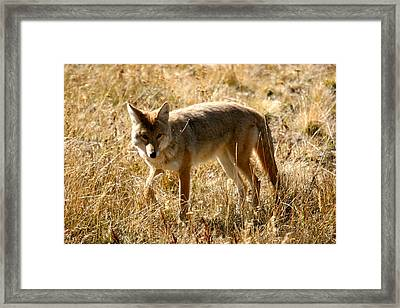 Yellowstone Cyote Framed Print by Dave Clark