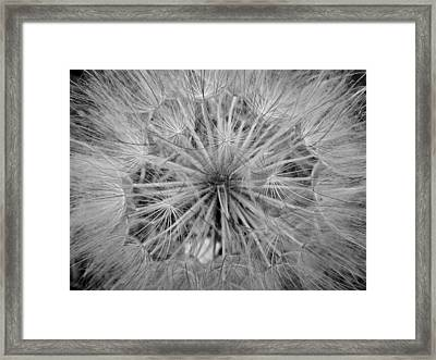 Yellowstone Dandelion Framed Print by Jonathan Hansen