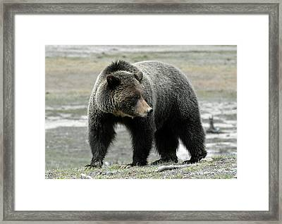 Framed Print featuring the photograph Yellowstone Grizzly A Pondering by Bruce Gourley