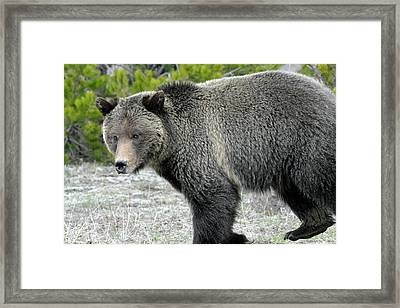 Framed Print featuring the photograph Yellowstone Grizzly On The Hunt by Bruce Gourley