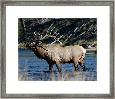 Yellowstone Park Elk Framed Print by Greg Sigrist