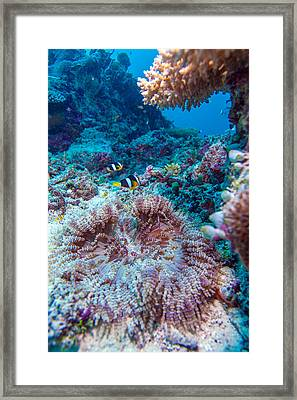 Yellowtail Clown Fish With Sea Anemone Framed Print