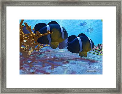 Yellowtail Clownfish Framed Print by Corey Ford