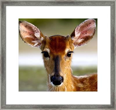 Yes Deer Framed Print by Joseph Gillette