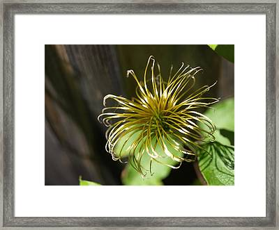 Yesterday's Bloom - 1 - Clematis Framed Print