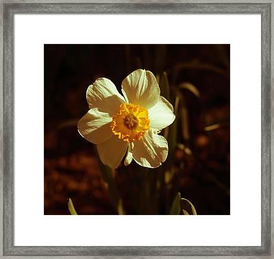 Yesteryear Daffodil Framed Print