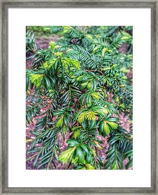 Yew Tree Framed Print by Isabella F Abbie Shores FRSA